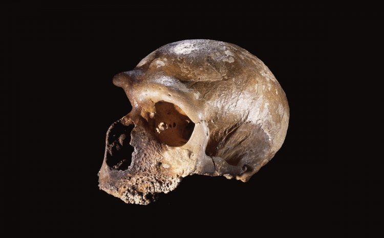 What Happens When You Swap a Human Gene With a Neanderthal's?