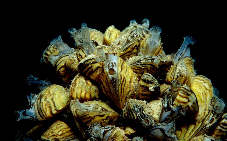 The Feds Want You to Destroy This Sneaky Mussel's Hiding Spot