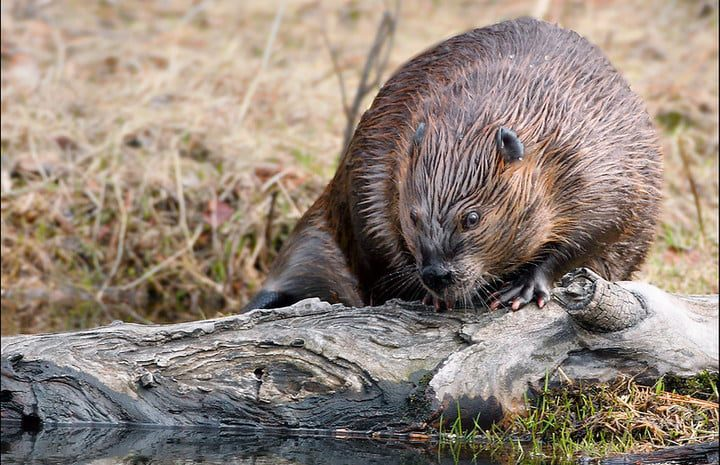 How a beaver knocked out the internet for remote Canadian community